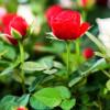 В Биологическом музее расскажут о селекции роз