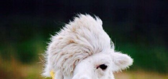 В Москве есть целая ферма, где живут альпаки!
