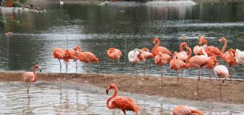 Пять птенцов фламинго родились в Московском зоопарке
