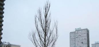 Новый Арбат постепенно превращается в улицу вязов. Фредди Крюгера там нет, зато есть деревья вязы, к которым позже присоединятся клёны, липы, дубы, лиственницы и прочие деревья